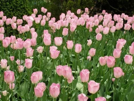 Tulip Flower Spring #92611