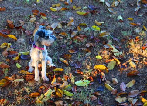 Autumn dog schnauzer #92897