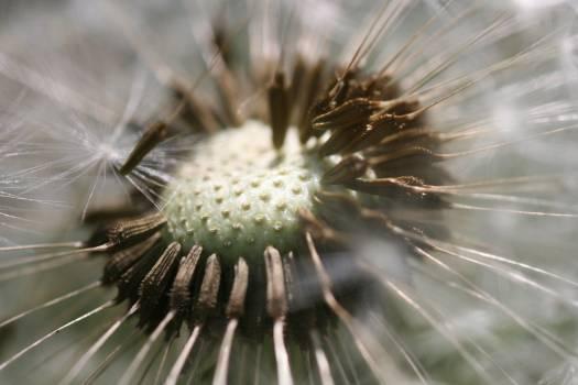 Dandelion flower macro macro photo Free Photo