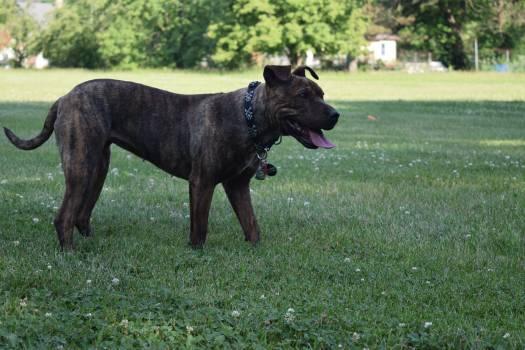 Terrier Bullterrier Staffordshire bullterrier #93213