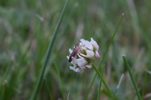 Clover Plant Flower Free Photo