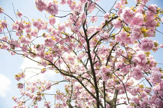 Almond April Tree #93358