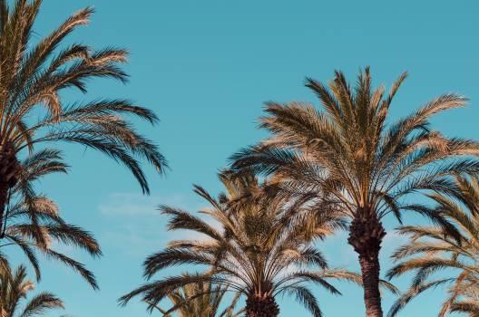Palm Coconut Caribbean Free Photo
