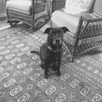 Retriever Dog Sporting dog #93680