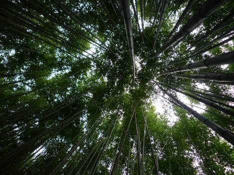 Bamboo Palm Tree Free Photo