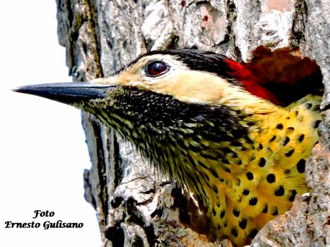 Bird Animal Brambling Free Photo