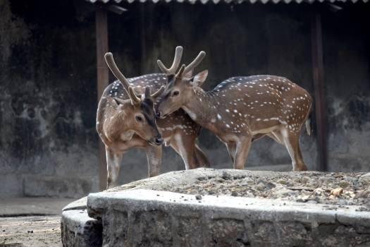 Deer Mammal Animal #94761