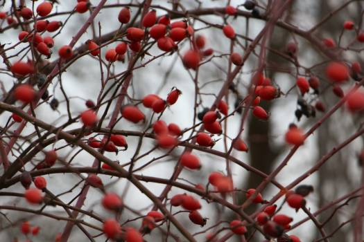 Barberry berries bush red #94888