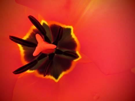 Flower macro pistil pollen Free Photo