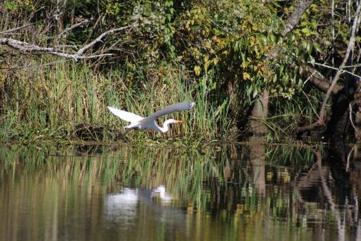 Bird egret flying swamp #96008