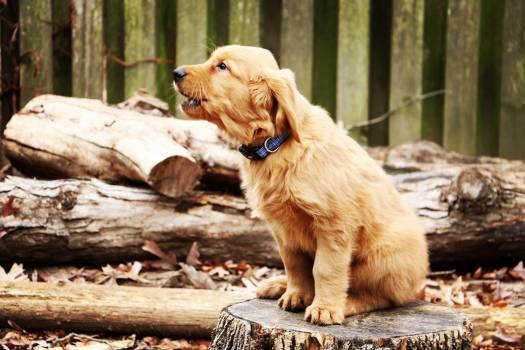 Retriever Dog Pet #96511