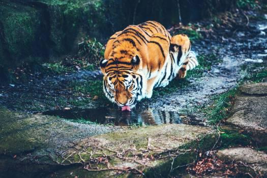 Animal animal photography big big cat Free Photo