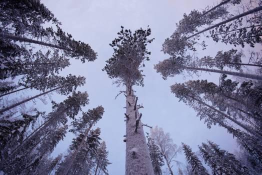 Fir Pine Tree #97458