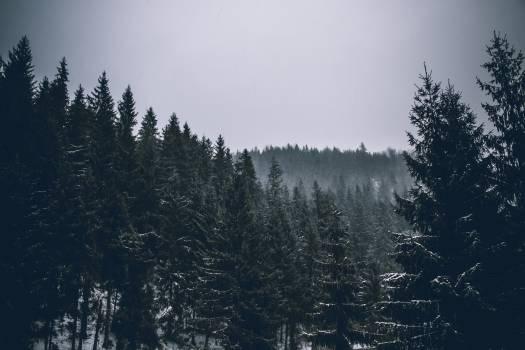 Fir Pine Tree #97596