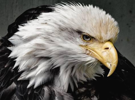 Animal avian bald eagle bird #97814