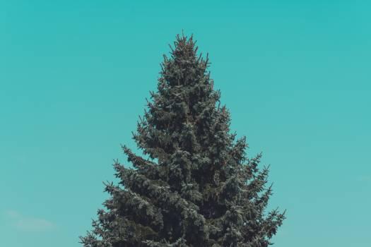 Fir Pine Tree #98098