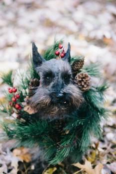 Terrier Hunting dog Miniature schnauzer #98245