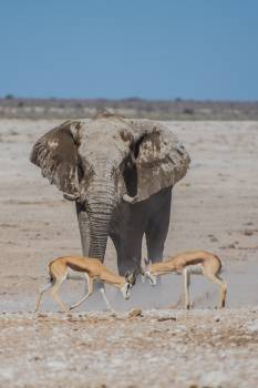 Camel Arabian camel Elephant Free Photo
