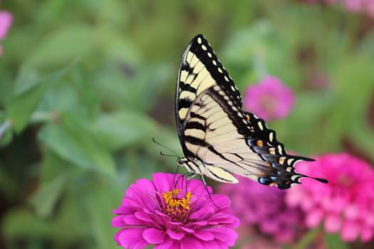 Butterfly Monarch Admiral Free Photo