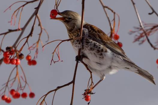 Bird fieldfare municipal nature Free Photo