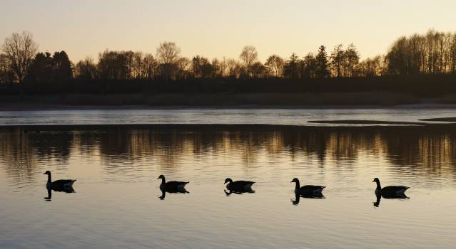 Animals duck family ducks nature #98735