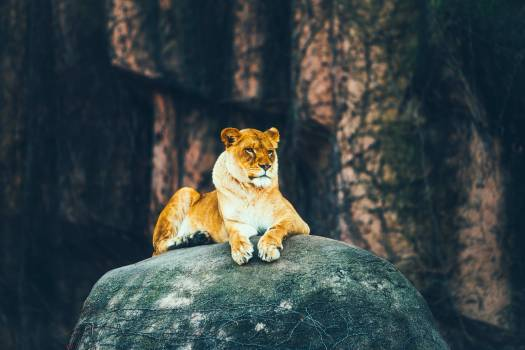 Animal beautiful big cat brave Free Photo