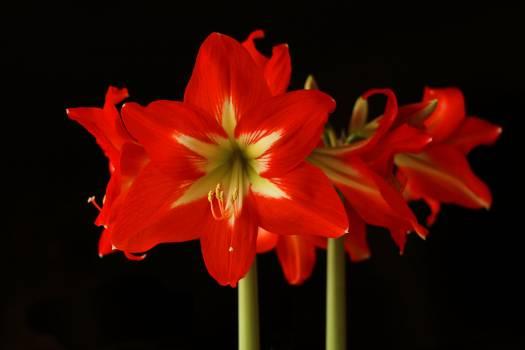 Amaryllis amaryllis plant anther bloom Free Photo