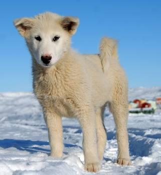 Dog greenland greenland dog puppy #99414