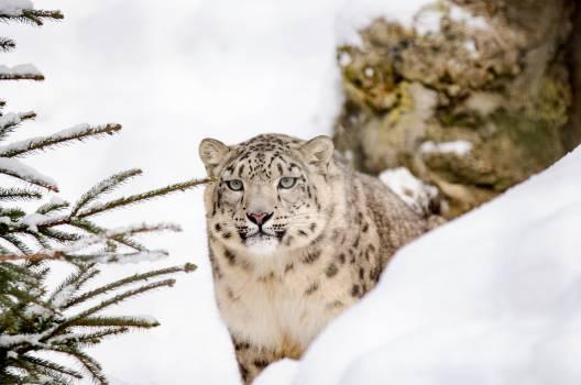 Big cat cat snow snow leopard #99422