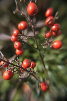 Berries berries on a plant plant red #99428