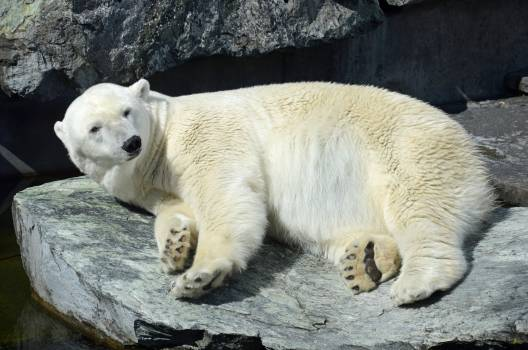 Animal polar bear stuttgart white bear Free Photo