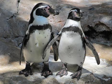 Animals birds chilean penguin close up Free Photo