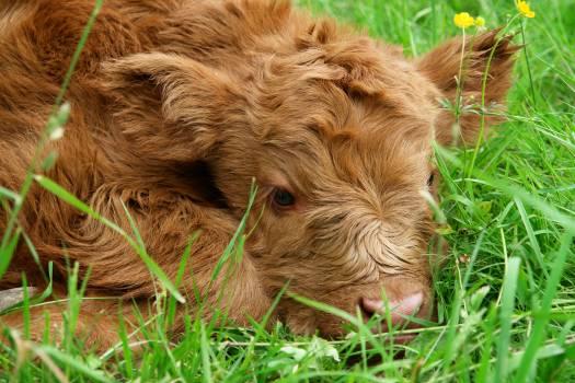 Beef calf cow cute #99509