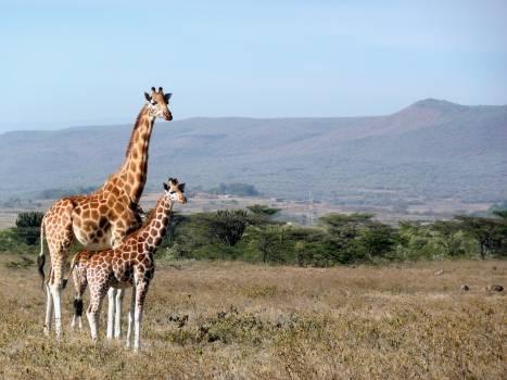 Africa animal cute giraffe #99522