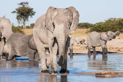 Botswana chobe game reserve drinking elephant Free Photo