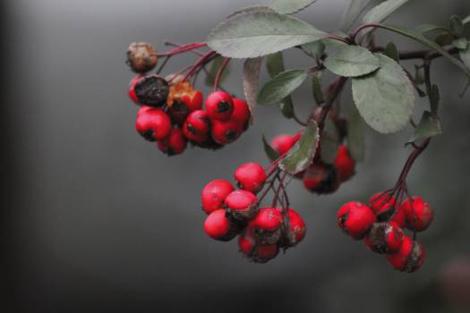 Holly Berry Fruit #99596
