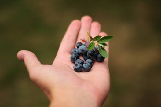 Agriculture berries berry blackberry Free Photo