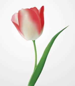 Tulip Plant Flower #331617