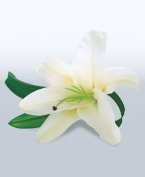 Lily Pollen Flower #331719